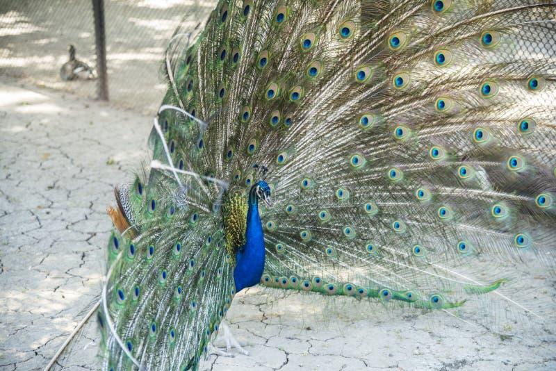 Pawi taniec, zoologiczny ogród Krajowej rezerwy nowa, Ukraina fotografia royalty free