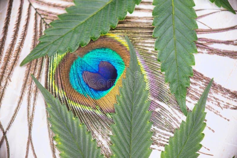pawia piórko i marihuana liści szczegół odizolowywający nad bielem zdjęcie stock