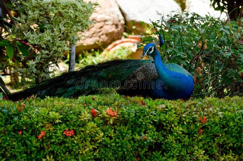 Pawia piórko w ptaka parku, Chainat prowincja, Tajlandia obraz royalty free