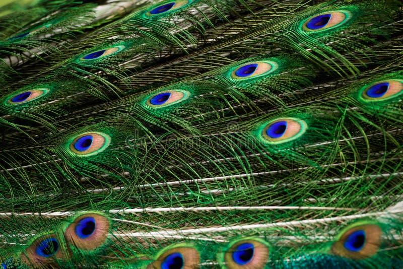 Pawia zielony i błękitny upierzenie obrazy stock