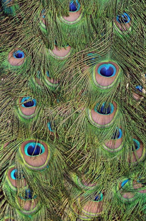 Pawia zielony i błękitny upierzenie w zakończeniu up fotografia stock
