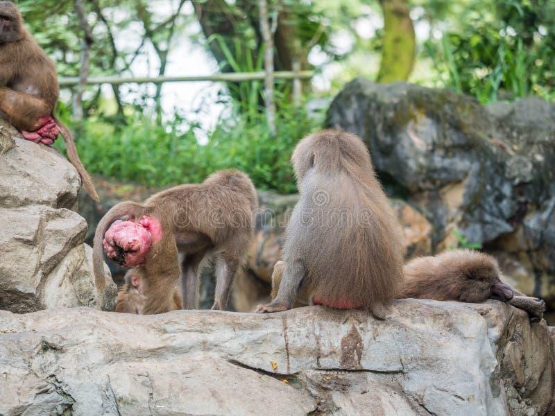 Pawianów hamadryas rodzinny pawian w niewoli fotografia royalty free