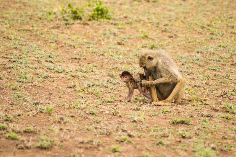 Pawian i lisiątko w sawannie przy Amboseli parkiem w północno-zachodni fotografia stock