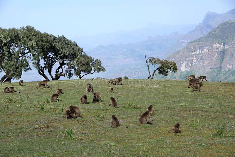 pawiany Ethiopia fotografia stock