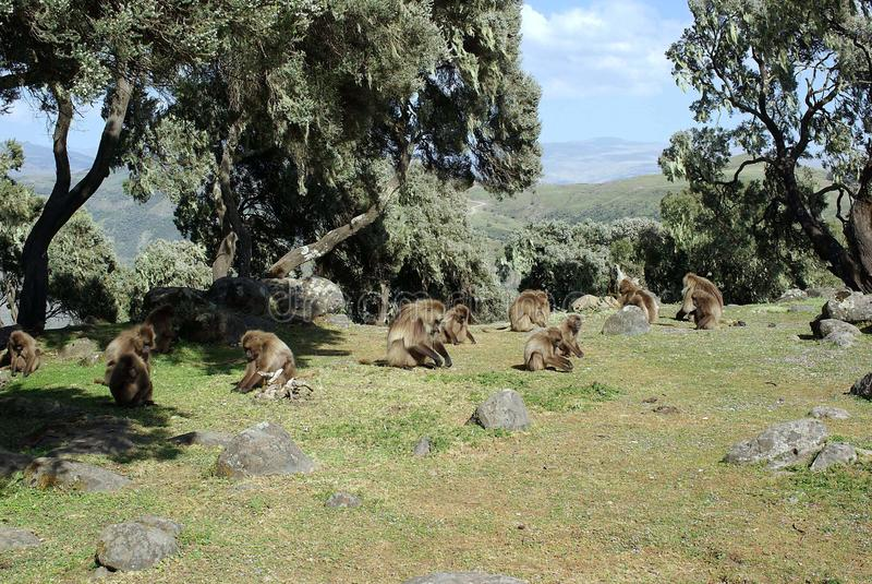 Pawiany, Etiopia zdjęcie stock