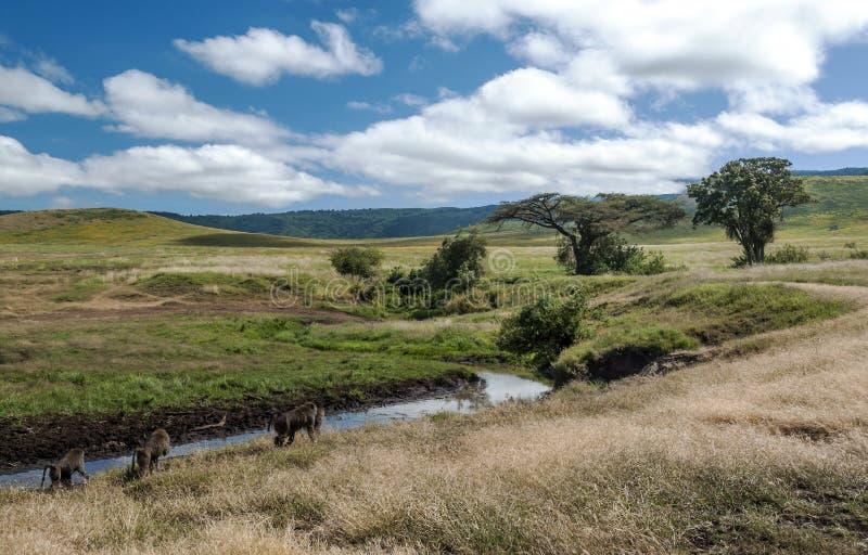 Pawiany w Tanzania prerii zdjęcia royalty free