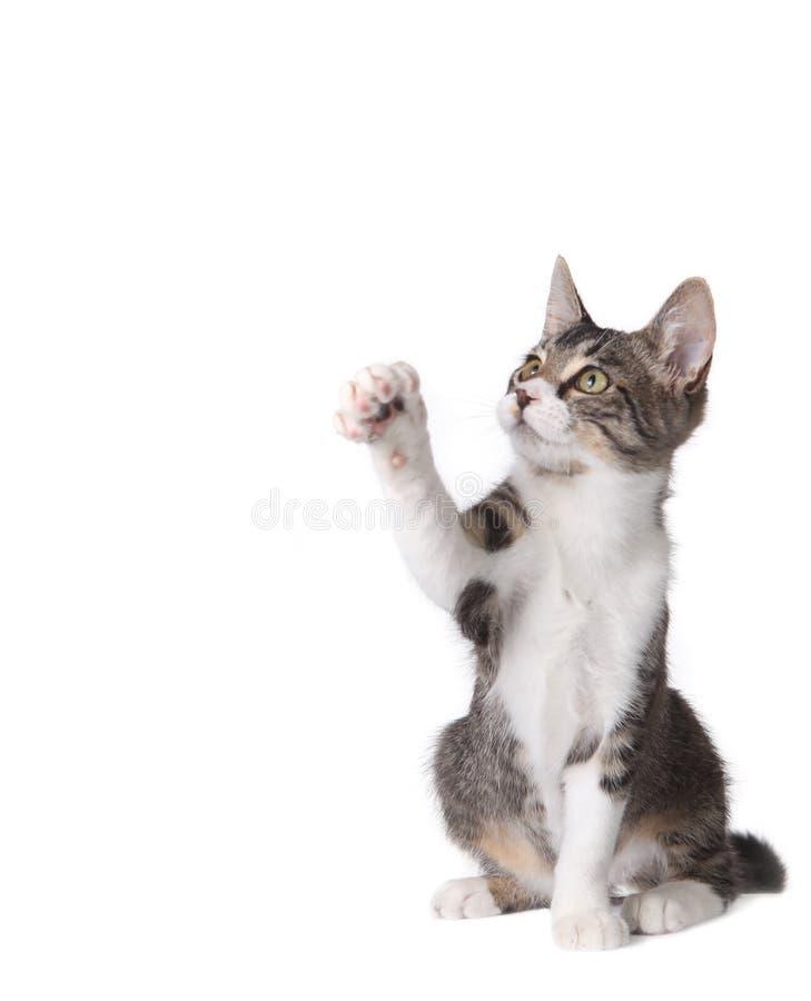 pawing某事的小猫 免版税库存图片