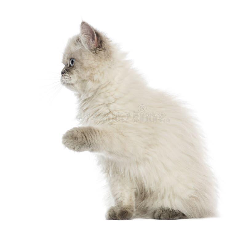 pawing英国长发的小猫, 5个月,被隔绝 免版税库存图片