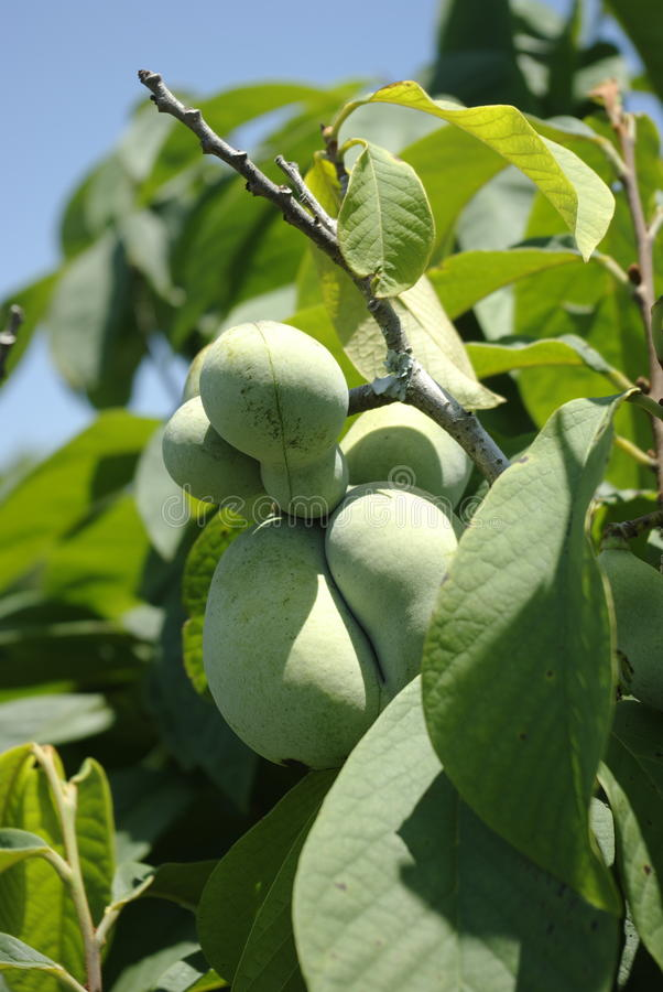Download Pawpaw, Asimina triloba stock photo. Image of fruit, shrub - 9699964