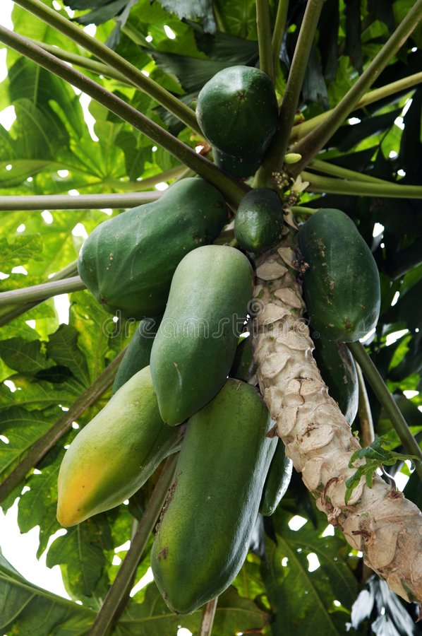 Pawpaw tree. Papaya tree in china,Chiapas stock photography