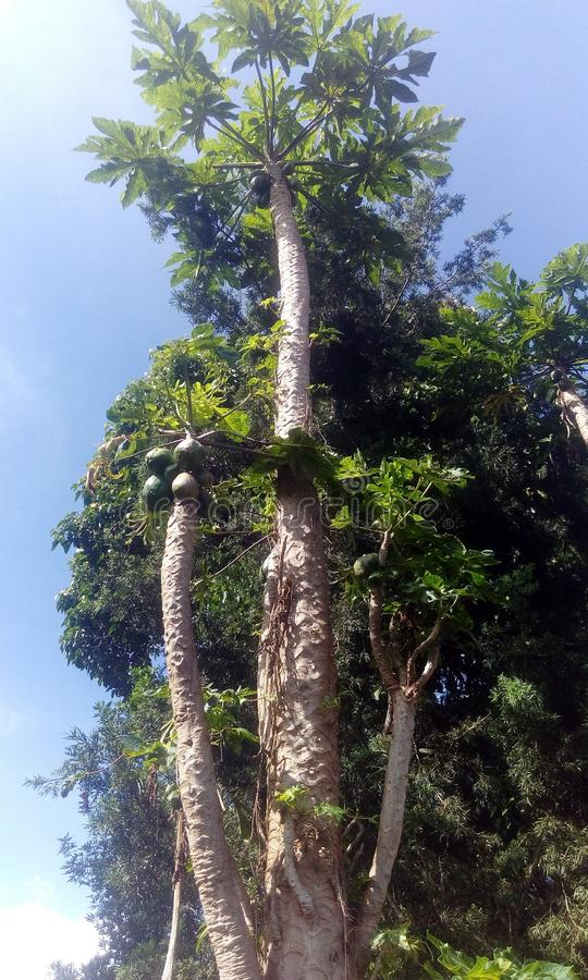 Pawpaw tree stock photos