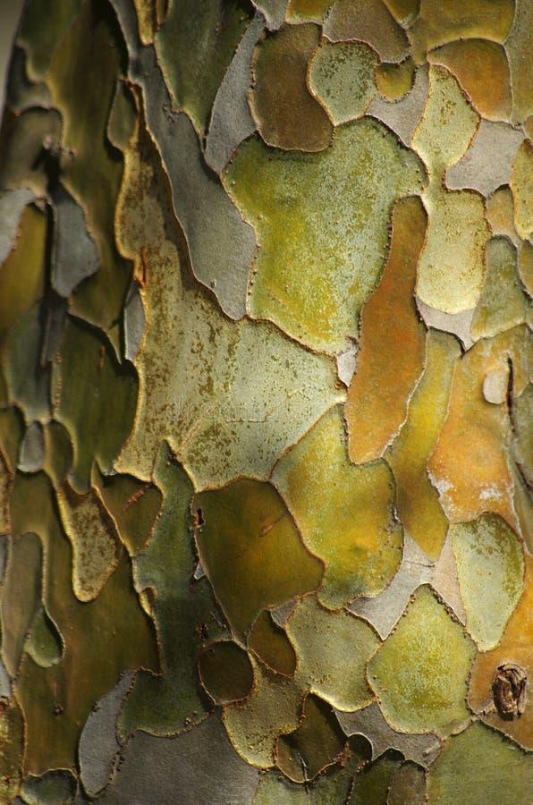 Pawpawträdskäll arkivfoton