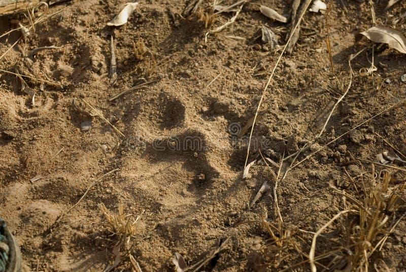 Pawprint dos leões imagem de stock