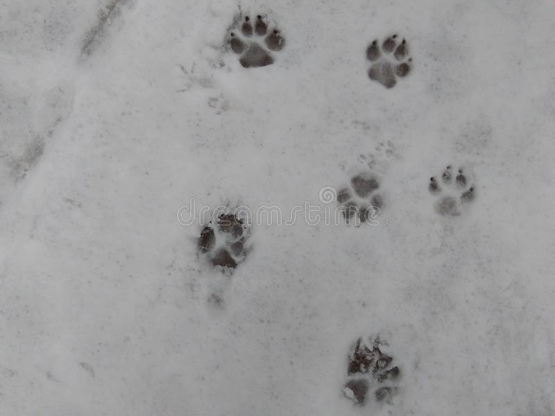 Pawprints croquants et clairs dans la neige profonde photos libres de droits