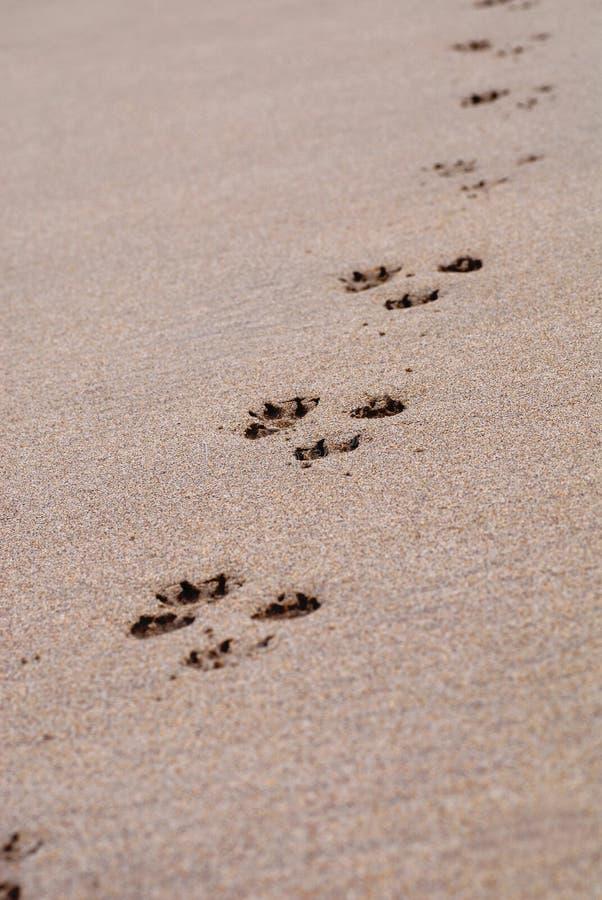 Pawprints na areia fotografia de stock royalty free