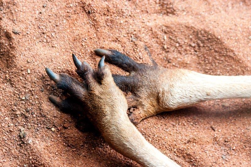 Paws of kangaroo on the sand. Close up image. Australia, Kangaroo Island stock photo