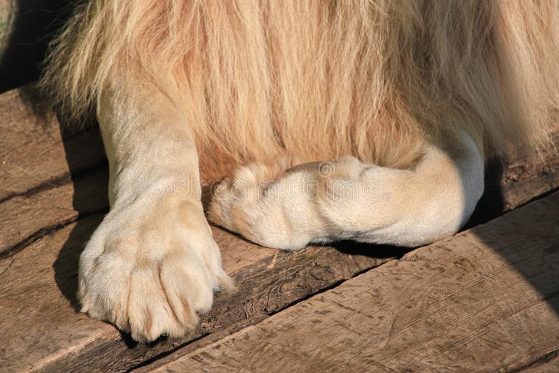 Paws of a lion close up royalty free stock photos