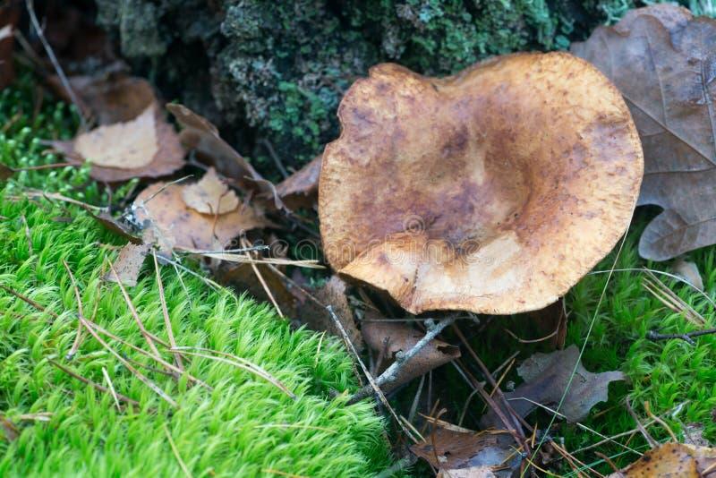 Paxillus involutus,棕色卷外缘,毒物pax蘑菇 库存照片