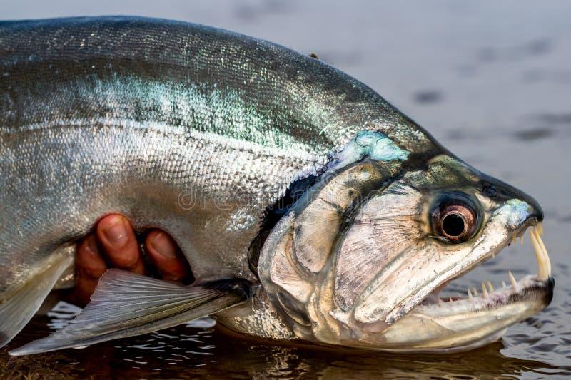 Payara wampira ryba Orinoco Colombia obrazy stock