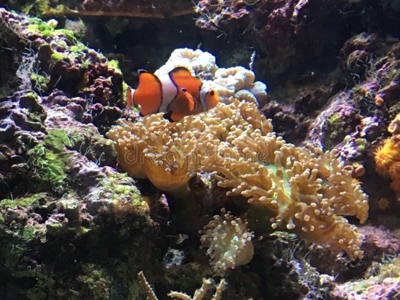 Payaso Fish fotografía de archivo libre de regalías
