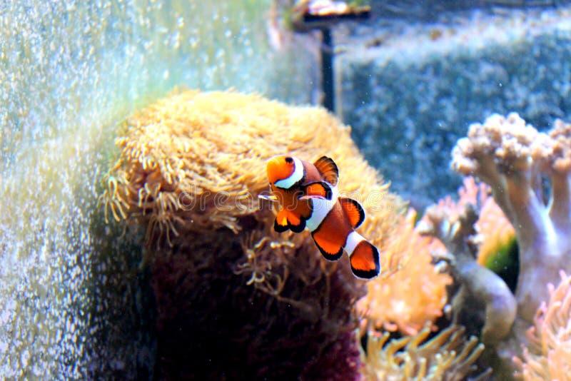 Payaso Fish imagen de archivo