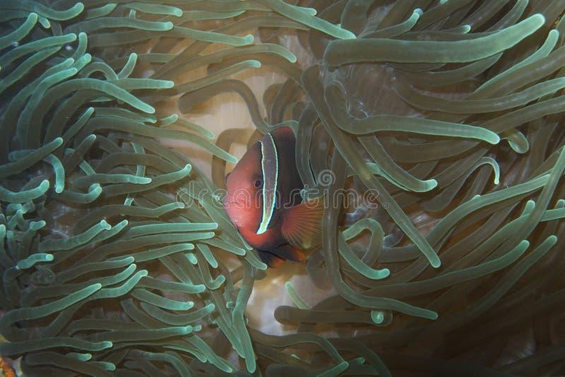 Payaso Fish en anémona de mar luminescente del capellán Burgos, Leyte, Filipinas imagen de archivo