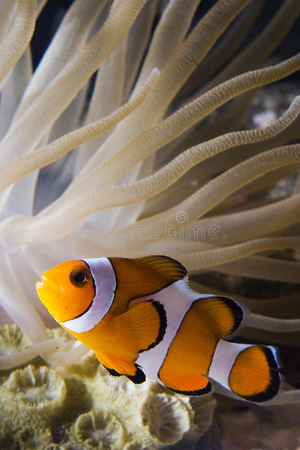 Payaso fish2 foto de archivo