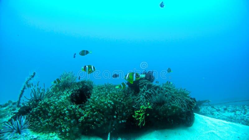 Payaso Fishes en el arrecife de coral subacuático fotos de archivo