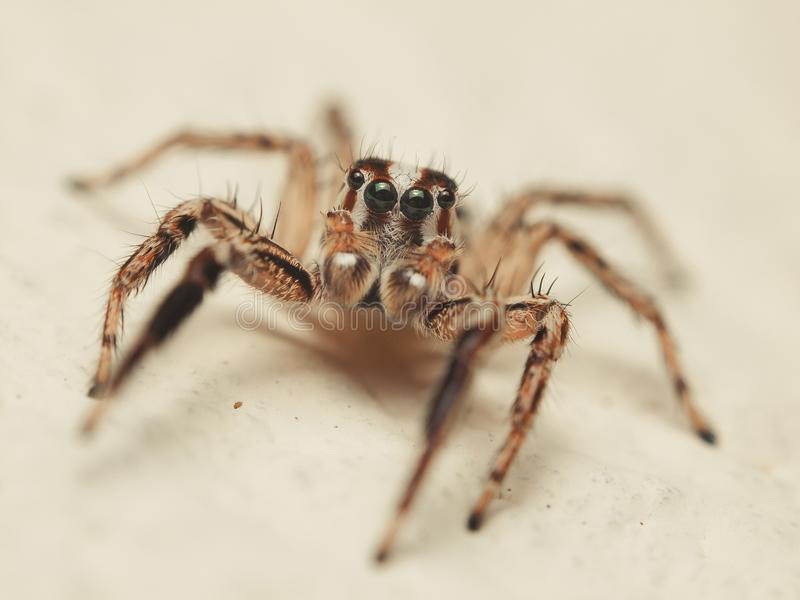 Paykulli sautant de Plexippus d'araignée prêt à sauter images stock