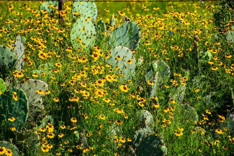 Pays jaune sain épais de colline de fleurs sauvages de Texas Cactus image libre de droits