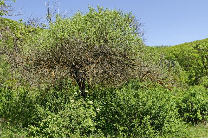 Paysage étrange de nature de printemps avec la forêt verte de mélange et de branche couvert de lichen jaune dans la montagne de L image libre de droits