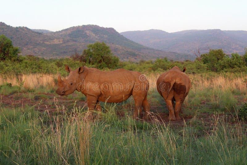 Paysage africain - deux rhinocéros blancs se tenant ensemble dans la lumière de matin images stock