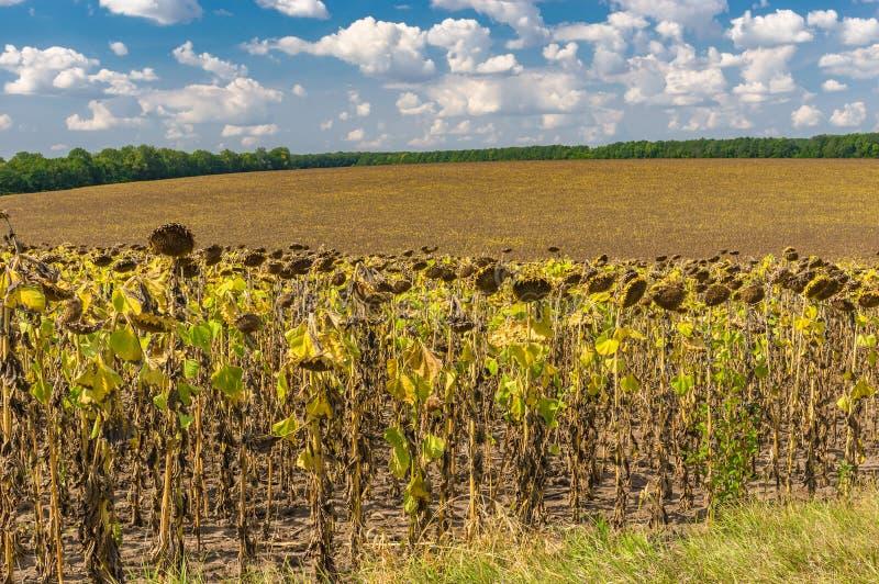 Paysage agricole ukrainien avec le gisement mûr de tournesol photos libres de droits