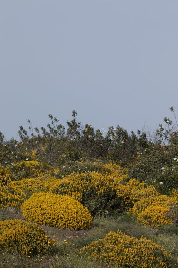 Paysage avec des arbustes de densus d'ulex image libre de droits
