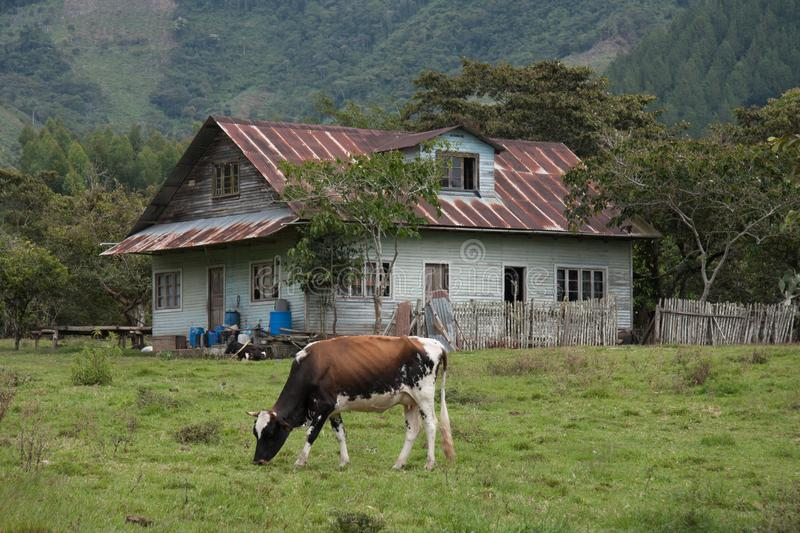 Paysage avec des bétail dans Oxapampa, Pérou image stock
