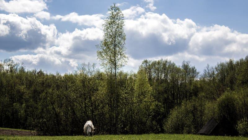 Paysage avec la chèvre photo stock