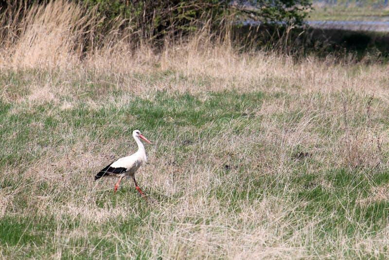 Paysage avec la cigogne blanche sur le pré de ressort près de Turov photographie stock
