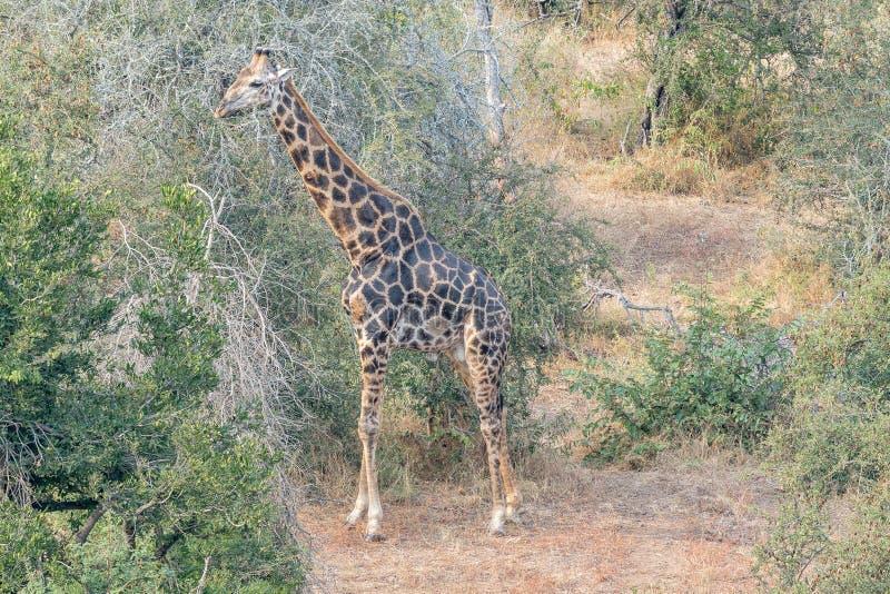 Paysage avec la girafe dans la province de Mpumalanga photographie stock libre de droits