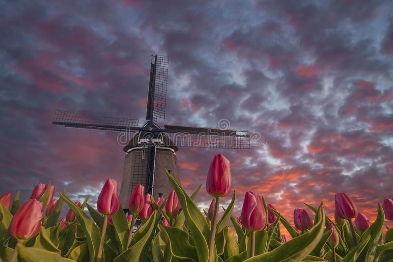 Paysage avec les champs et le moulin à vent de tulipe image libre de droits