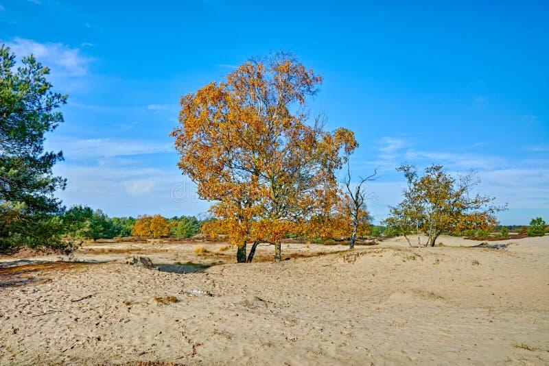 Paysage avec les dunes à sable jaune, les arbres et les usines et le ciel bleu, parc national Druinse Duinen dans le Brabant-Sept photo libre de droits