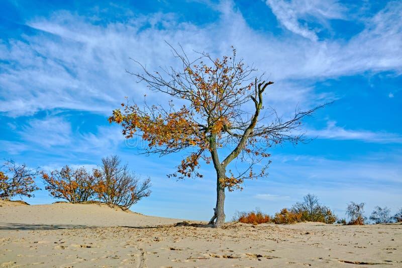 Paysage avec les dunes à sable jaune, les arbres et les usines et le ciel bleu, parc national Druinse Duinen dans le Brabant-Sept image libre de droits
