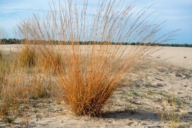 Paysage avec les dunes à sable jaune, les arbres et les usines et le ciel bleu, parc national Druinse Duinen dans le Brabant-Sept photos libres de droits