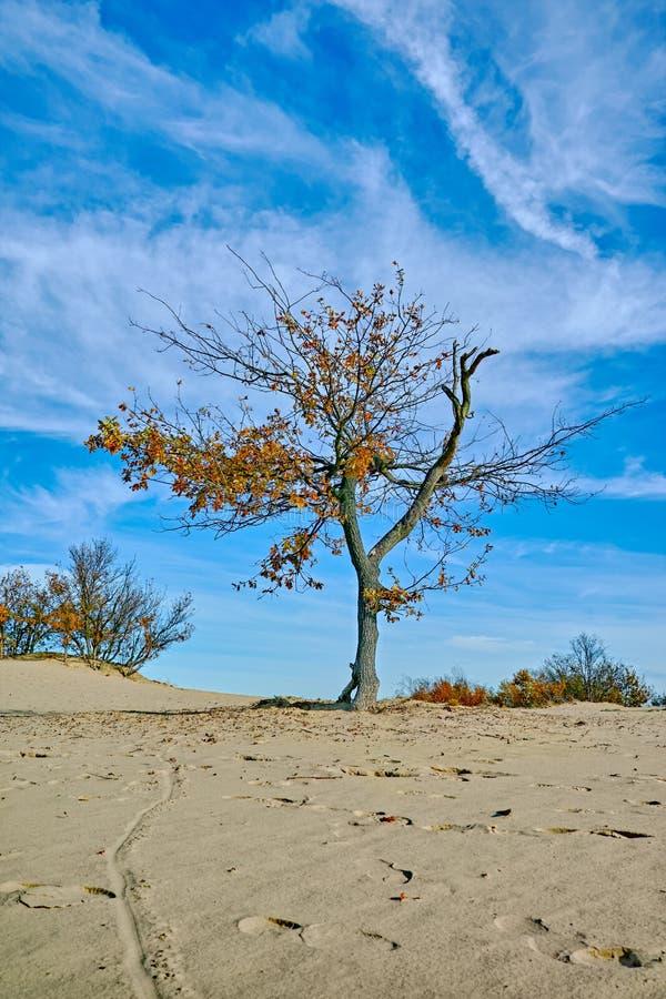 Paysage avec les dunes à sable jaune, les arbres et les usines et le ciel bleu, parc national Druinse Duinen dans le Brabant-Sept image stock