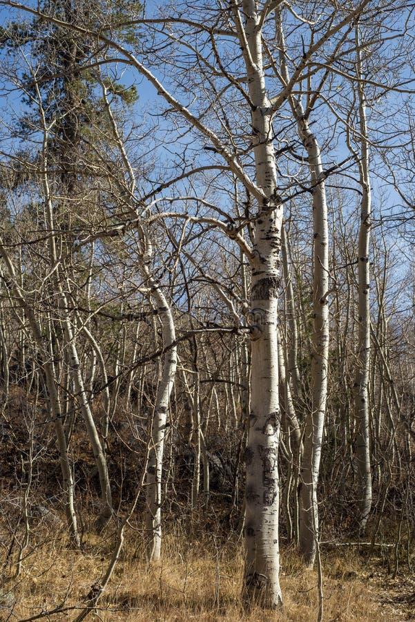 Paysage blanc d'automne de troncs d'arbre d'écorce d'arbres d'Aspen photo stock