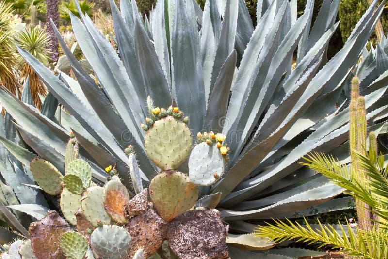 Paysage bleu de tequila d'agave dans le jardin botanique à Lloret de Mar, Espagne photos libres de droits