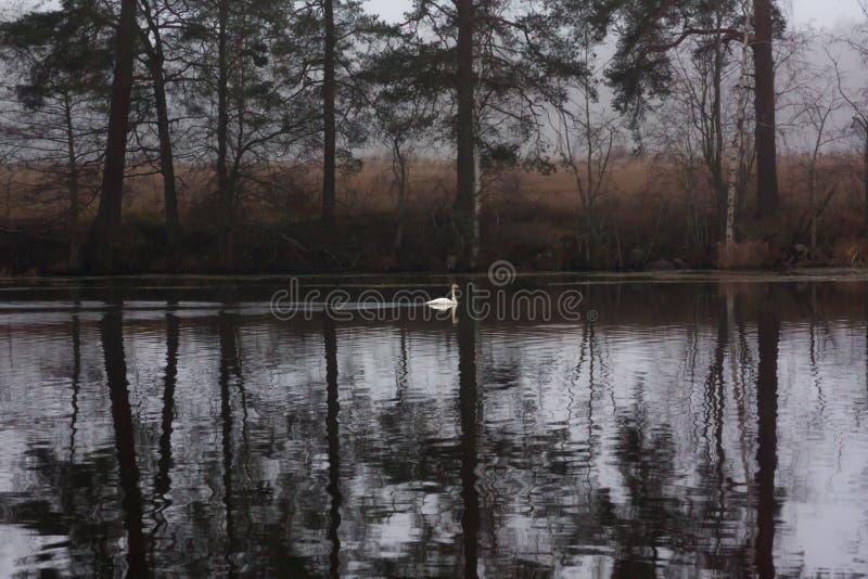 Paysage calme foncé d'automne sur une rivière brumeuse avec une réflexion blanche simple de cygne et d'arbres dans l'eau La Finla image stock