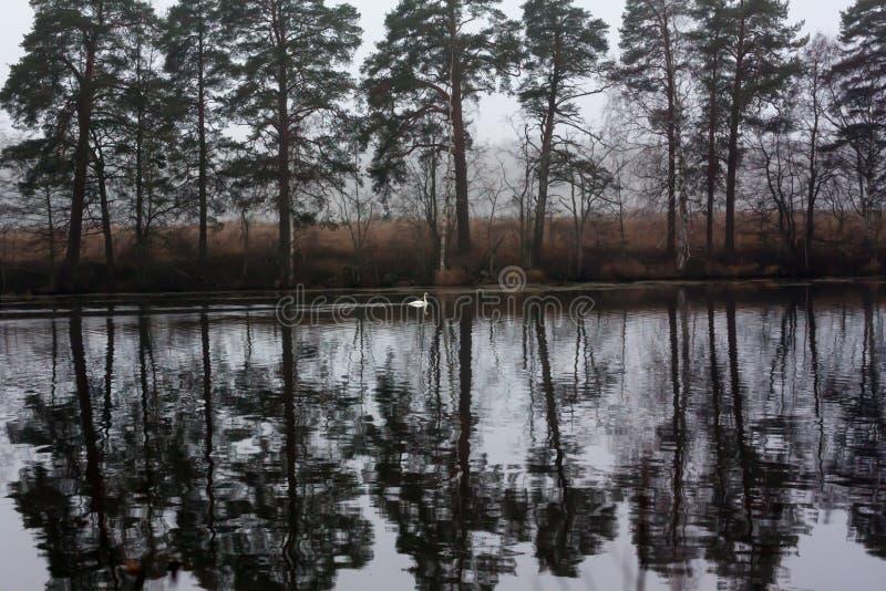 Paysage calme foncé d'automne sur une rivière brumeuse avec une réflexion blanche simple de cygne et d'arbres dans l'eau La Finla image libre de droits