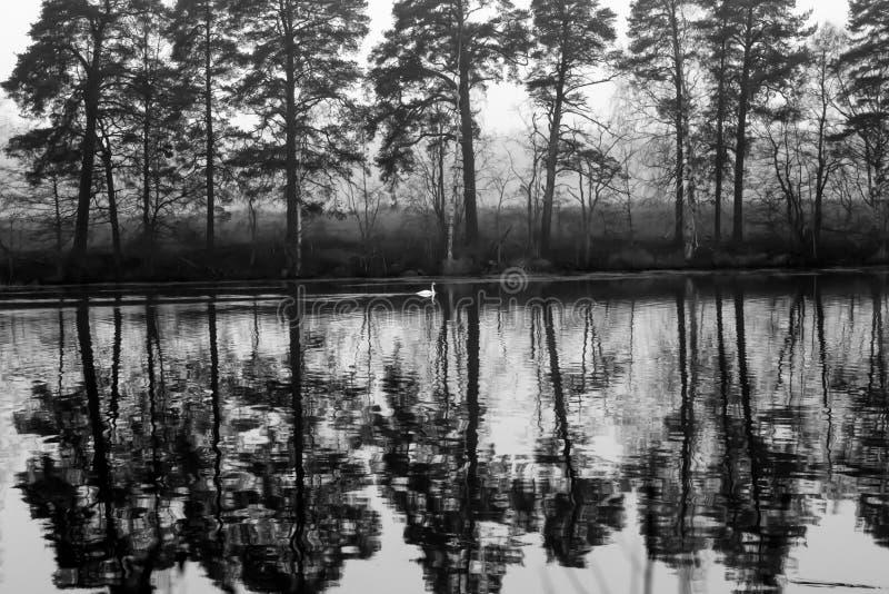 Paysage calme foncé d'automne sur une rivière brumeuse avec une réflexion blanche simple de cygne et d'arbres dans l'eau La Finla photo libre de droits