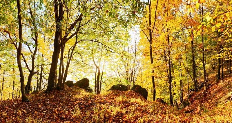 Paysage chaud d'automne dans une for?t, avec le soleil moulant de beaux rayons de lumi?re par la brume et les arbres photos libres de droits