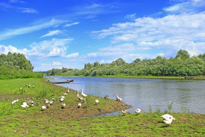Paysage d'été avec la rivière et les oies de pâturage image stock
